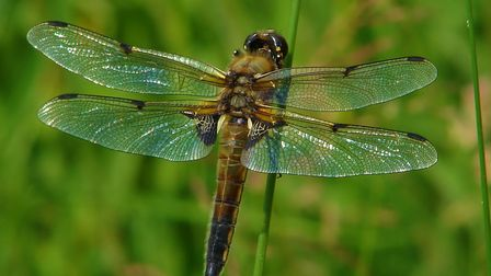 The four spot chaser (c) Dave Clay