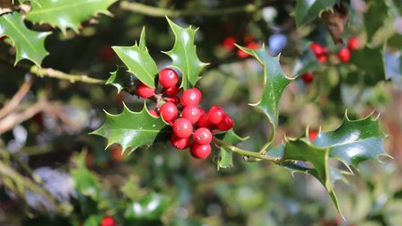 The native holly tree has a fascinating defence mechanism (c) Hana Richterova/Getty Images/iStockphoto