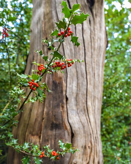 Red berries on a holly tree (c) Olivier Guiberteau/Getty Images/iStockphoto