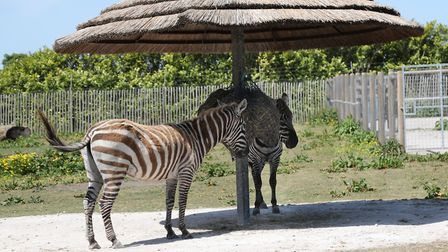 Zebras find a spot in the shade