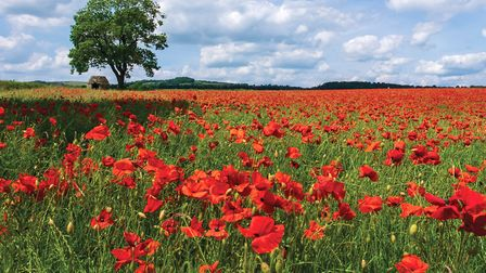 DER 16 Poppies covering a field in the beautiful Derbyshire countryside, Baslow, Derbyshire (Ed Rhodes)