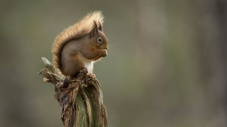 The now rarely seen red squirrel