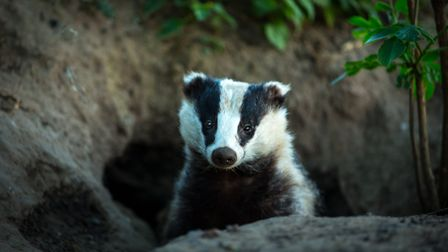 Badgers have roamed in the Peak District for centuries