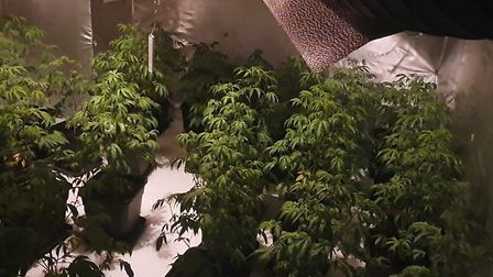 More than 300 cannabis plants have been seized. Picture: Met Police