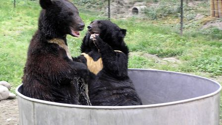 Rescued Moon Bears Having Fun at Animals Asia's Moon Bear Sanctuary in Chengdu China in 2006 where A