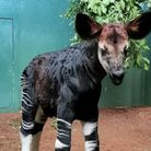 Ede the okapi, was born on September 21 at London Zoo. An Extraordinary Year ZSL is on the ITV Hub now. ZSL is looking for...
