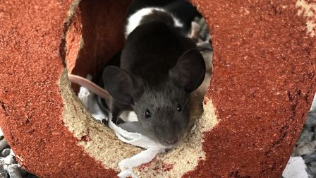 Boo is a six-month-old female mouse, looking for her forever home this Halloween. Picture: BLUE CROSS