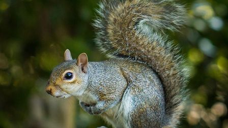 Squirrel in Golders Hill Park. Picture: Copyright of David Godfrey- www.davidgodfreyimages.com - All