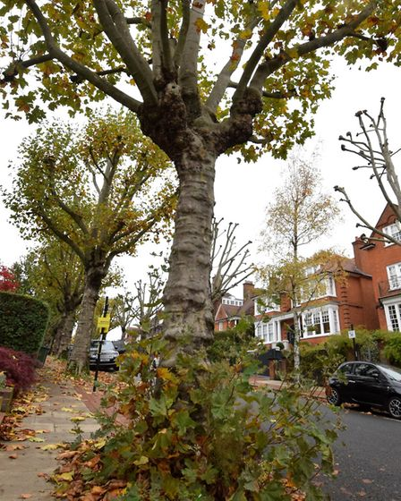 The pollarded trees in Ferncroft Avenue are know exhibiting epicormic growth, which is a sign of str