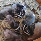 The group recently released the orphaned cubs of this year back into the wild. Picture: Essex Badger