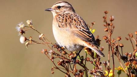 A rear Whinchat caught on camera at Wanstead Flats by Jono Lethbridge