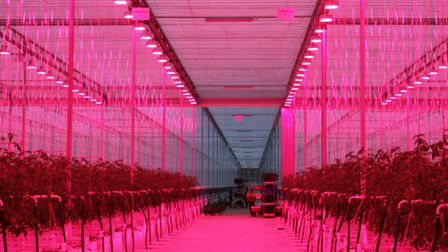 The pink LED light helps to boost growth of the tomato plants. Picture: PAUL GEATER