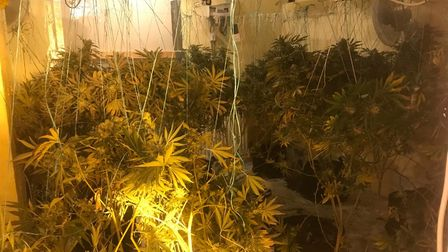 Cannabis plants seized from Lowestoft property