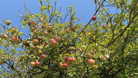Crab Apples in the Great Ouse Valley