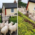 The worried flock tried to hide in one Gorefield resident?s garden after being chased by a dog which was off its lead.