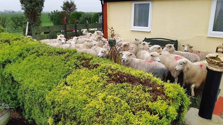 The worried flock tried to hide in one Gorefield resident's garden after being chased by a dog which was off its lead.