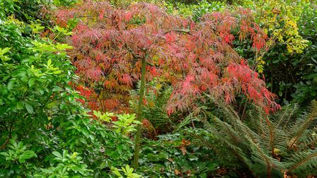 Acer dissectum at Caldrees Manor, Ickleton. Picture: Simon Baylis for The National Garden Scheme