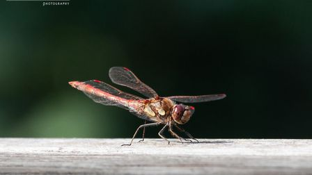 Stuart Buckminster's image of a dragonfly at Paxton Pits Nature Reserve.