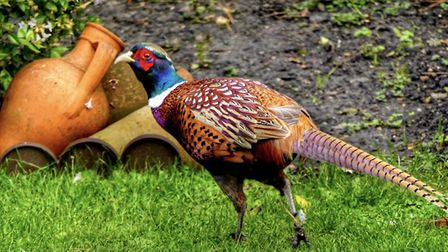 Gerry Brown took this photo of a male pheasant in his Hartford garden.