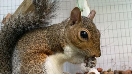 Jason the one-armed, grey squirrel. Picture: Paul Allum