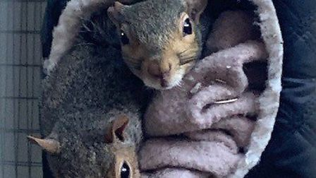 Ronnie and Reggie together at Hitchin Squirrel Rescue. Picture: Paul Allum
