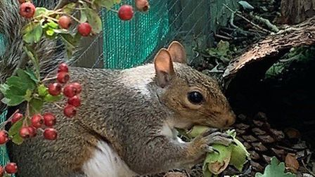Reggie was one of the first squirrels to be rescued by Paul and Ania. Picture: Paul Allum