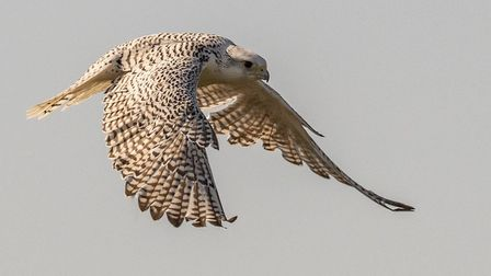 Peter Hagger took this picture at the Raptor Centre, near St Ives, showing a Gyr Falcon called Ice.