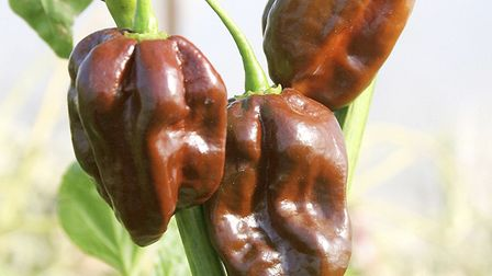 Chilli 'Chocolate Habanero'. Picture: Suttons/PA