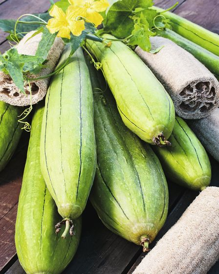 Luffa plant. Picture: Suttons/PA