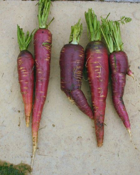 Afghan Purple carrots. Picture: Garden Organic/PA