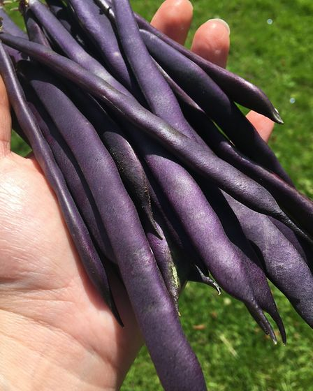 The French bean 'Blue Beans'. Picture: Garden Organic/PA