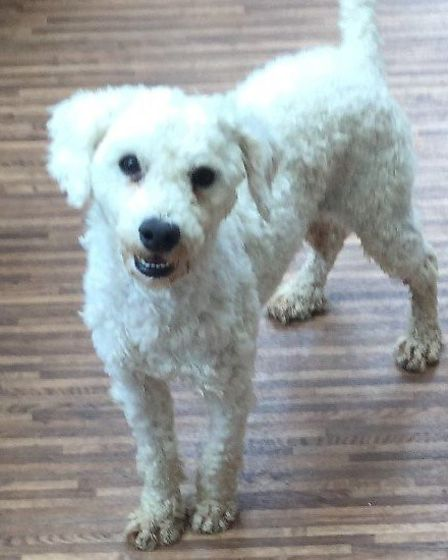 Police are appealing for help to tracea number of dogs, taken from a property in Walpole St. Andrew.Toy poodle