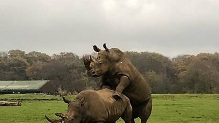 The rhinos at ZSL Whipsnade are having fun. Picture: ZSL Whipsnade