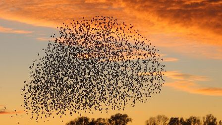 Michael Burdett took this photo of a murmuration of starlings before sunset at Fen Drayton Lakes.