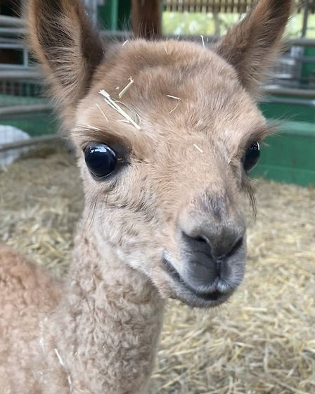 Willows Activity Farm has launched a competition to name the male baby Cria. Picture: Willows Activity Farm