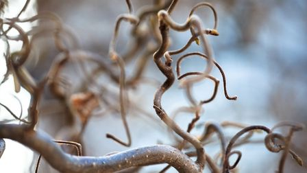 1. Corkscrew hazel has bare twisting stems in winter and can make a terrific focal point in a pot on your patio.Picture...