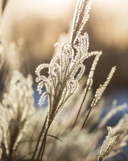 4. Ornamental grasses such as miscanthus can look sublime when the frost catches them and makes them shimmer. See PA...
