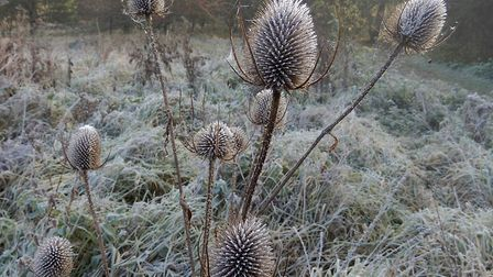 Judith Johnson's image of frosty teasels at the Pightle, Eaton Socon.