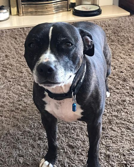 This dog is missing from St Albans. He is a six-year-old Staffordshire Bull Terrier. Picture: Supplied
