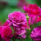 Pink roses blossom on green blurred background close up, beautiful red rose bunch macro, growing purple flowers in bloom...