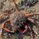 The crab was released back into the sea at Paignton