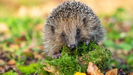 Man is to blame for the decline of the hedgehog