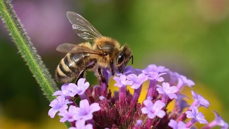 Honey Bee on Verbena bonariensis Picture: Chris Triner