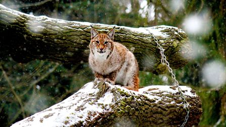 Wildwood Escot's lynx are hoping for snow this year. Picture: Wildwood Escot.