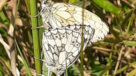Pair of marbled white butterflies in Westerland Valley Country Park, June 2020. Photo: Groundwork So
