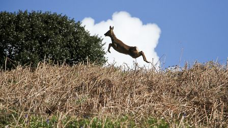 A Roe Deer on Fire Beacon Nature Reserve. Ref shs 16-17TI 9775. Picture: Terry Ife