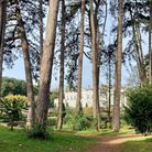 Monkey Puzzle tree (Araucaria araucana) in the grounds of Oldway Mansion, Paignton. Photo: Groundwor