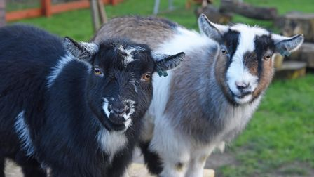 Bert and Ernie the goats who are taking part in Valley Primary Academy's nativity play.