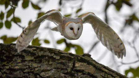 A barn owl during a display flight at the International Centre for Birds of Prey, Newent, Gloucester