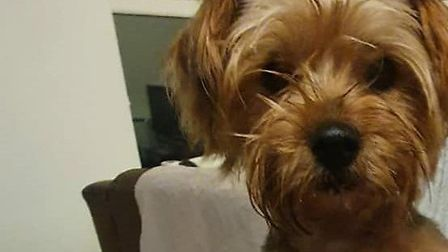 Miley, a three-year-old yorkshire terrier was stolen from a van in Norfolk Street, Wisbech on Sunday evening (December 13)...